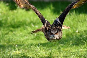 תמונה של ינשוף - דורס לילי